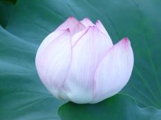 August - Ueno Lotus Garden