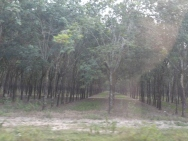 Rubber tree farm. If you look closely, there are bowls attached