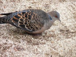 Pretty dove
