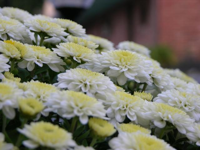 Chrysanthemum_Bunch_Closeup_3264px (1)