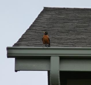 birdonaroof