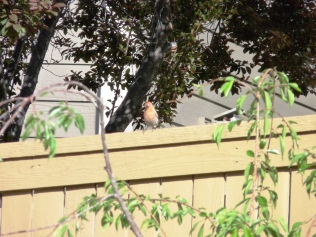 Red finch?