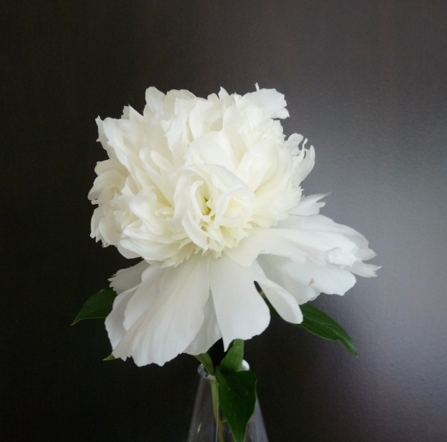 Flower Friday:  herbaceous peony