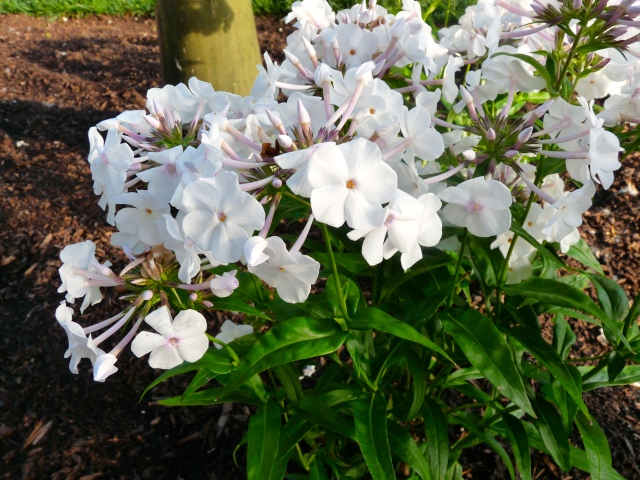 Flower Friday:  Phlox